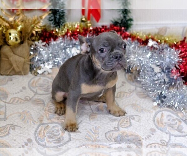 Medium Photo #14 French Bulldog Puppy For Sale in BITTER LAKE, WA, USA