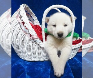 Siberian Husky Puppy for sale in GROVESPRING, MO, USA