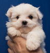 2 Litters of very cute Maltipoo puppies