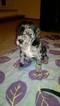 Great Dane Puppy For Sale in MIDLAND, MI