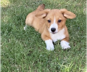Pembroke Welsh Corgi Puppy for Sale in LUBBOCK, Texas USA