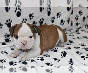 English Bulldog Puppy for sale in HOLLYWOOD, FL, USA