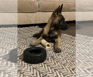 Dutch Shepherd Dog Puppy for sale in FORT WALTON BEACH, FL, USA