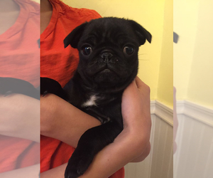 Pug Puppy for sale in LOOMIS, CA, USA