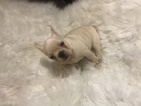 French Bulldog Puppy For Sale in EAST HAVEN, CT, USA