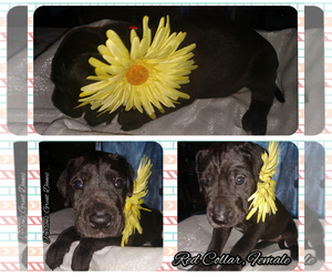 Great Dane Puppy for sale in S ZANESVILLE, OH, USA
