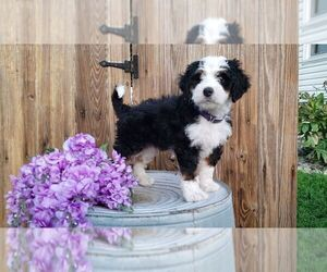 Miniature Bernedoodle Puppy for Sale in SUGARCREEK, Ohio USA