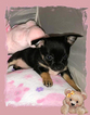 Premium Tiny Chihuahua Puppies Registered