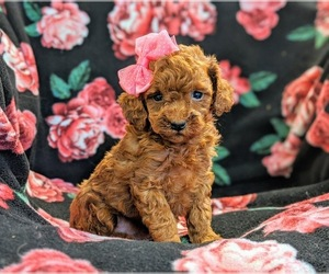Poodle (Toy) Puppy for sale in NEW HOLLAND, PA, USA