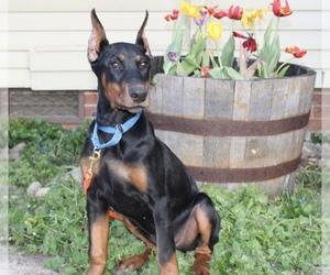 Doberman Pinscher Puppy for sale in MANASSAS, VA, USA