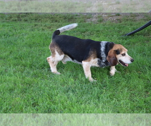 Father of the Beagle puppies born on 07/25/2020