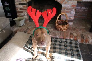 Bellamy - American Pit Bull Terrier (short coat) Dog For Adoption