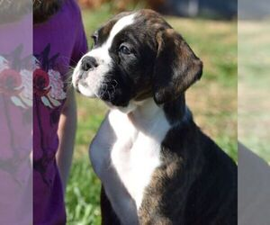 Boxer Puppy for Sale in SENECA, Kansas USA
