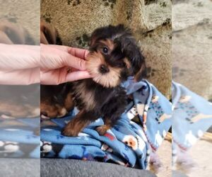 Shorkie Tzu Puppy for sale in KENDALL, WI, USA