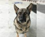 Small #31 German Shepherd Dog