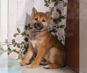 Shiba Inu Puppy for sale in PENNS CREEK, PA, USA
