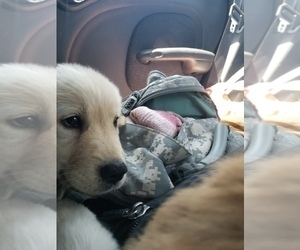 Golden Retriever Puppy for sale in WILLIAMSBURG, CO, USA