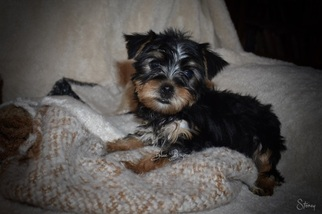 Tiny Toy Male Yorkie