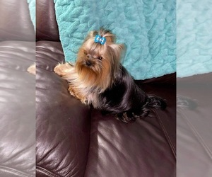 Father of the Yorkshire Terrier puppies born on 09/26/2020