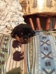 Rottweiler Puppy For Sale in OLIPHANT FURNACE, PA, USA