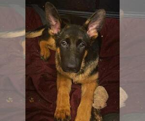 German Shepherd Dog Puppy for Sale in DENVER, Colorado USA