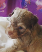 Havanese Puppy For Sale in PENSACOLA, FL,