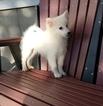 American Eskimo Dog Puppy For Sale in ARTHUR, IL, USA