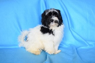 Havanese Puppy for sale in COLEMAN, TX, USA