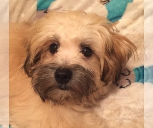 Shih-Poo Puppy for Sale in MOUNT AIRY, Maryland USA