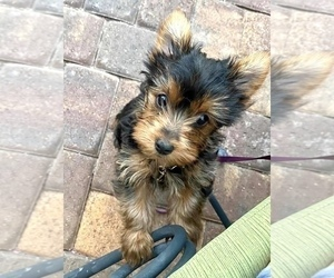 Yorkshire Terrier Puppy for Sale in HENDERSON, Nevada USA