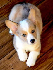 Pembroke Welsh Corgi Puppy For Sale in LOMA LINDA, CA, USA