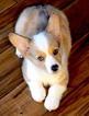 Pembroke Welsh Corgi Puppy For Sale in LOMA LINDA, CA,