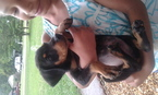 Doberman Pinscher Puppy For Sale in HUNTSVILLE, AL, USA