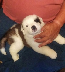 Saint Bernard Puppy For Sale in PLEASANT GARDEN, NC, USA