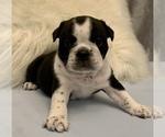 Small #8 Bulldog