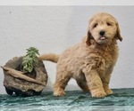 Puppy 4 Goldendoodle-Poodle (Miniature) Mix