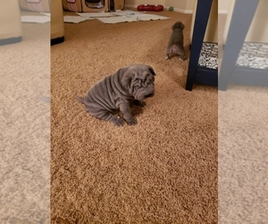 Chinese Shar-Pei Puppy for sale in DIXON, CA, USA