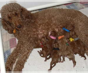 Poodle (Standard) Puppy for Sale in WINDSOR, Connecticut USA