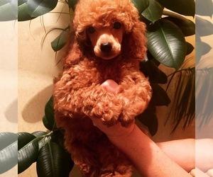 Poodle (Miniature) Puppy for sale in Bila Tserkva, Kyiv, Ukraine
