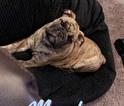 English Bulldogge Puppy For Sale in OAKLAND, CA, USA