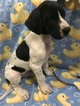 Great Dane Puppy For Sale in COPPERAS COVE, TX, USA