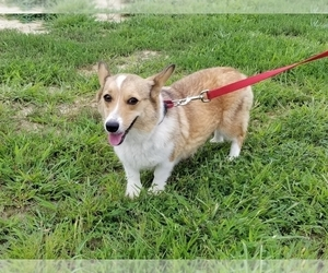 Mother of the Pembroke Welsh Corgi puppies born on 09/24/2020