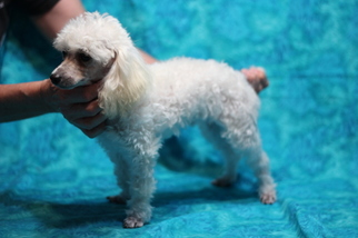Poodle (Toy) Puppy for Sale in GRAY, Louisiana USA
