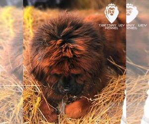 Mother of the Tibetan Mastiff puppies born on 03/08/2019