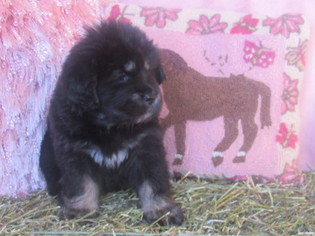 Tibetan Mastiff Puppy For Sale in LAWSON, MO, USA