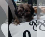 Small #8 Morkie