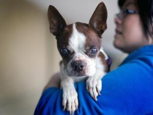 Bianca - Boston Terrier Dog For Adoption