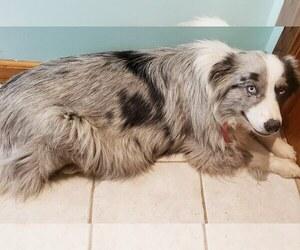 Australian Shepherd Puppy for sale in MILTON, WI, USA