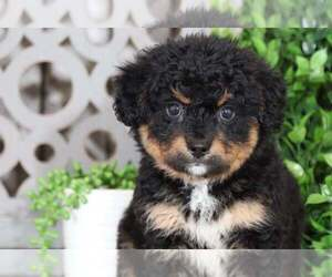 Bernedoodle Puppy for sale in MOUNT VERNON, OH, USA