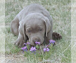 Small #15 Labrador Retriever